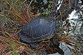 Florida Redbelly Turtle - Pseudemys nelsoni, Everglades National Park, Homestead, Florida.jpg