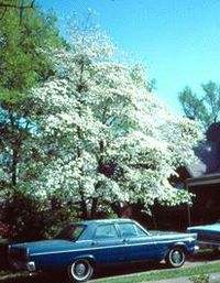 Floweringdogwood.jpg