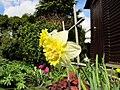 Flowers - (PL) Żonkil (17178616892).jpg