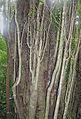 Foresteria hondurensis (11650450085).jpg