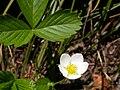 Fragaria vesca (5069795258).jpg