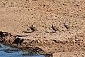 Francolin, Ruaha National Park (3) (28455574830).jpg