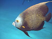 A picture of an angelfish