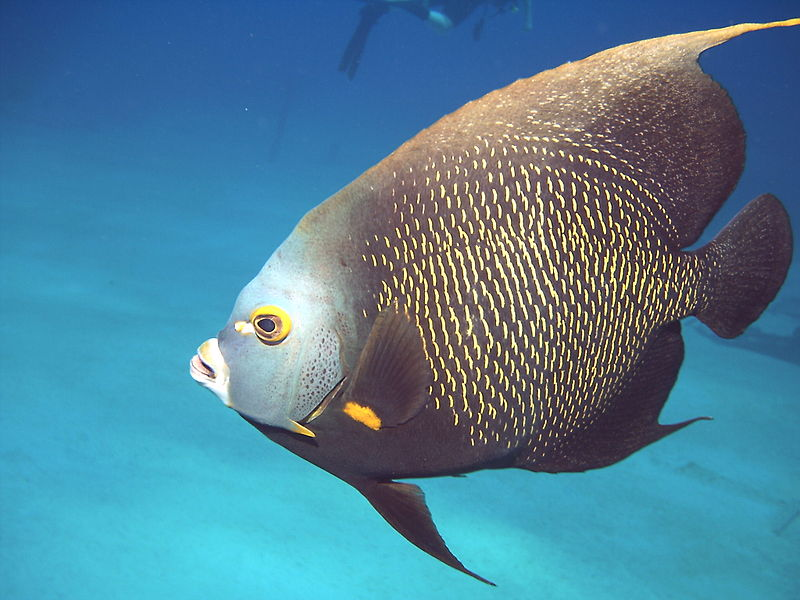 An image of an angelfish