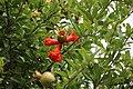 Fruit in Pompeii Ruins (48445436896).jpg