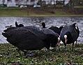 Fulica atra feeding in front of étang Tenreuken, Auderghem, Belgium (DSCF2925).jpg