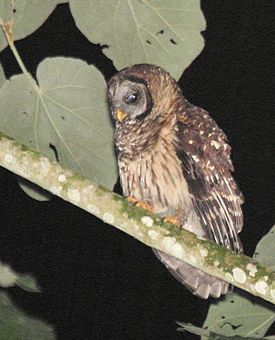 Fulvous Owl (Strix fulvescens) cropped.jpg