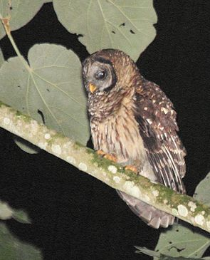 Fulvous Owl (Strix fulvescens) cropped.jpg