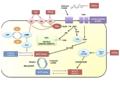 Funció prostaglandines en el sistema reproductor.png
