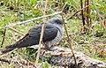 Gök Common Cuckoo (20163865269).jpg
