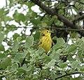 Galapagos Mangrove Warbler (46897186025).jpg