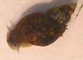 Galba schirazensis.png