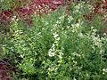 Galium asprellum clump.jpg