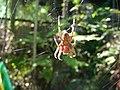 Garden Spider (5639359583) (2).jpg