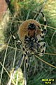 Garden spider (NH) (8127109442).jpg