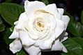 Gardenia jasminoides 9zz.jpg