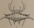 Gasteracantha westringi Koch 1871.png