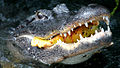 Gator Eats Pond Apple, NPSPhoto (9099194321).jpg
