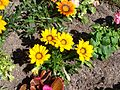Gazania flowers 02.jpg