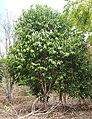 Geijera salicifolia habit.jpg