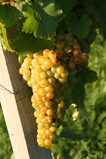 Grapes and leaves of the grape variety Gelber ...