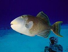 Gelbsaum Drueckerfisch 0001