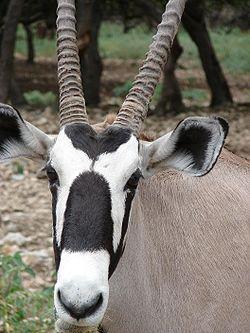 meaning of oryx