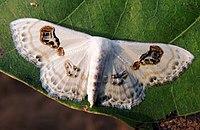 Geometer Moth Problepsis vulgaris.jpg