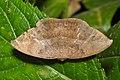 Geometridae (15263705125).jpg