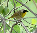 Geothlypis trichas Common Yellowthroat.jpg