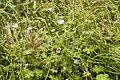 Geranium pyrenaicum bray-sur-somme 80 25062007 1.jpg
