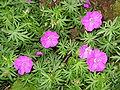 Geranium sanguineum004.jpg
