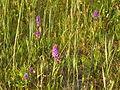 Gevlekte rietorchis (Dactylorhiza majalis var. junialis) in het Lauwersmeer.jpg