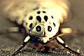 Giant leopard moth hypercompe scribonia 8.jpg
