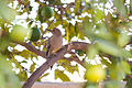 Gila Woodpecker (22943575813).jpg
