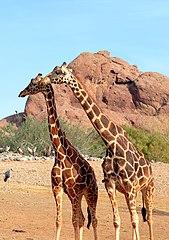 169px-Girafe_r%C3%A9ticul%C3%A9e