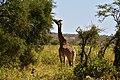 Giraffe, Tarangire National Park (22) (28612699172).jpg