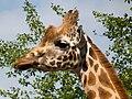 Giraffe (9155619624).jpg