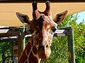 Giraffe - Brevard Zoo, Viera FL - Flickr - Rusty Clark.jpg