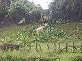 Giraffe in Zoo Negara Malaysia (1).jpg