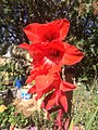 Gladiolus(red).jpg