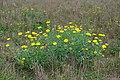 Glebionis segetum plant (06).jpg