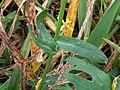 Glebionis segetum stem (06).jpg