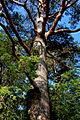 Glenveagh National Park - Tree near castle - geograph.org.uk - 1188735.jpg