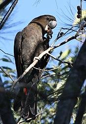 Glossy black cockatoo male kobble08.JPG