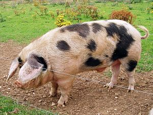 A Gloucester Old Spot breed boar (male pig) at...