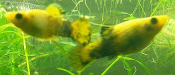 Male and female Gold Molly. Watch the Gonopodi...