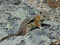 Golden-mantled Ground Squirrel.jpg