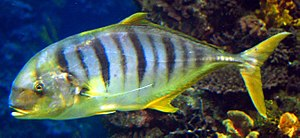 Golden trevally - Image: Golden trevally Barcelona Aquarium