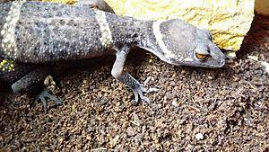 Tigergecko